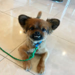 singapaw dog trainer